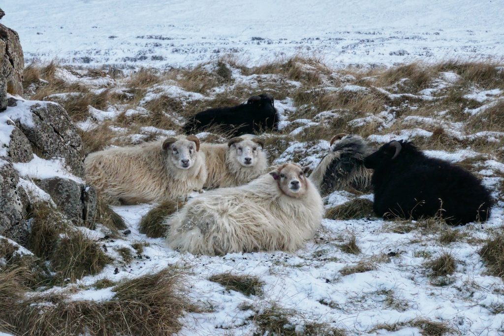 Iceland in the winter, Iceland road trip, Icelandic sheep