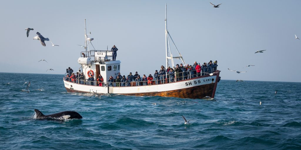 whale watching in iceland in the winter