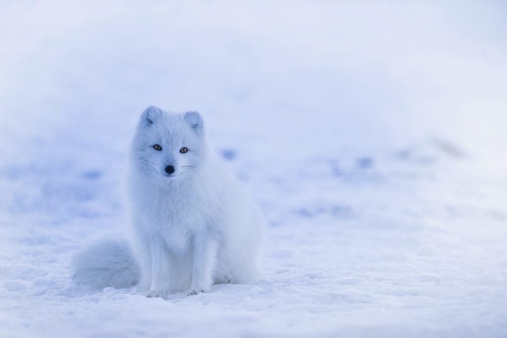 Arctic foxes Iceland winter
