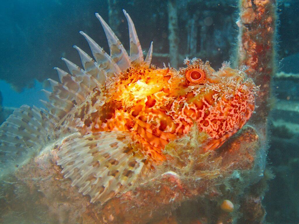 red and orange scorpion fish in malta