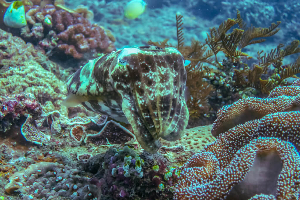 Cuttlefish blending into coral background in Indonesia