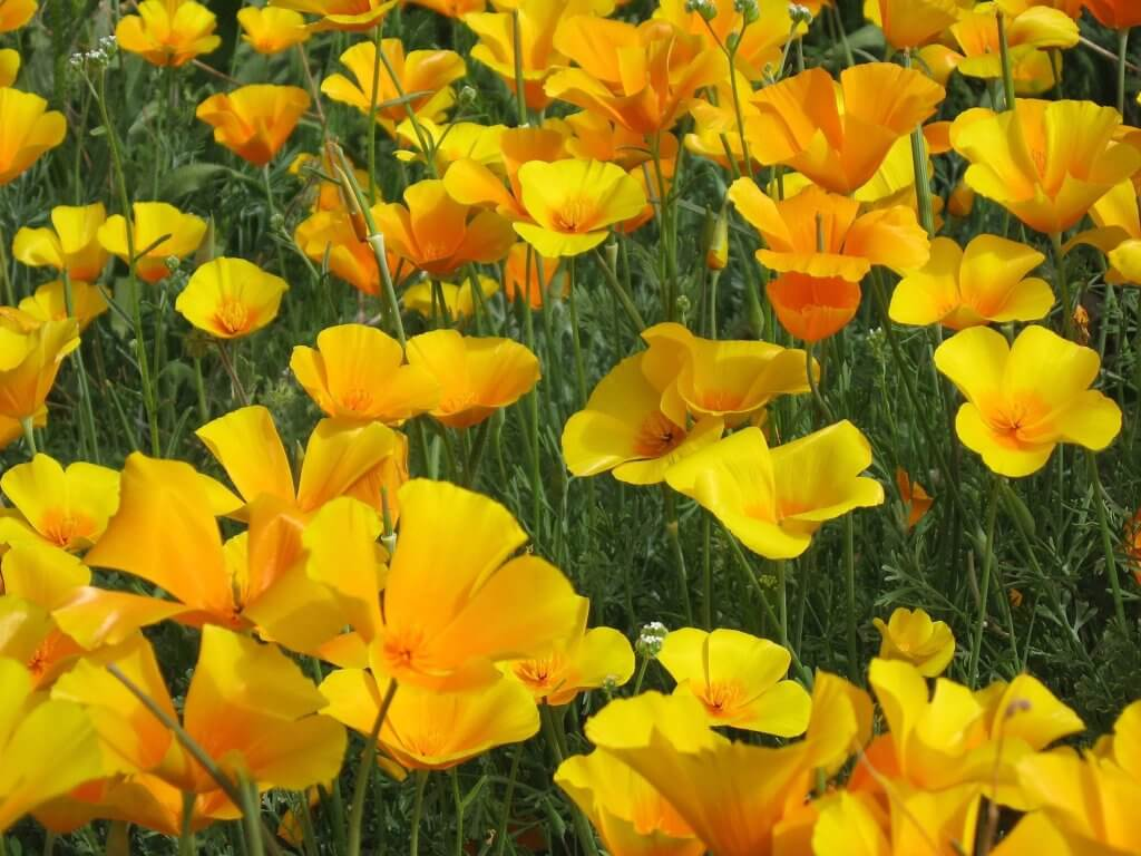 Bright golden poppies blooming against green grass in Organ Pipe Cactus National Monument